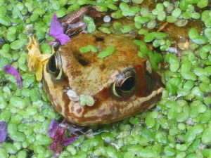 Frog eyes by noodlemaps from Flickr
